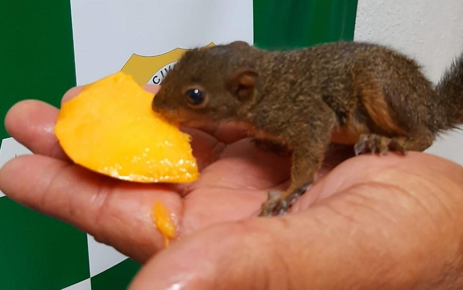 Divulgacao Guarda de Niteroi resgata filhote esquilo 1 Filhote de esquilo é resgatado em Niterói